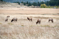North American elk cow Royalty Free Stock Images