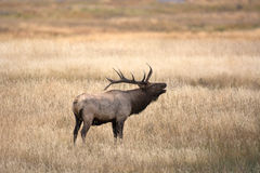 North American elk Stock Photo