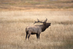 North American elk Stock Images