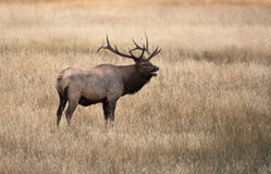 North American elk Stock Photography