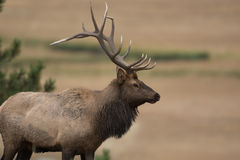 North American elk. A large bull North American elk standing in an open meadow during the rut in Rocky Mountain National Park in Colorado Stock Photography