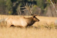 North American elk Stock Photos