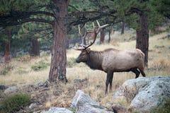 North American elk Royalty Free Stock Images