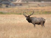 North American elk Stock Photography
