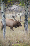 North American elk Royalty Free Stock Photos