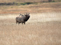 North American elk Stock Images