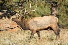 North American elk Royalty Free Stock Photo