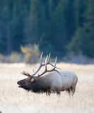 North American elk Royalty Free Stock Photo