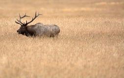 North American elk royalty free stock photos