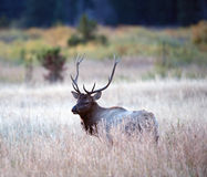North American elk stock image