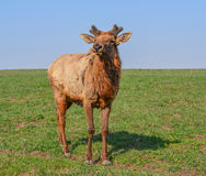 North American Elk Stock Photos