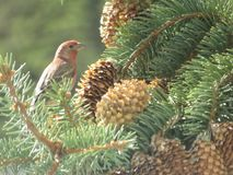 North American Finch Bird on a Pine Tree royalty free stock images