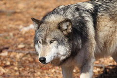North American Gray Wolf Stock Image