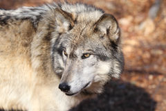 North American Gray Wolf Royalty Free Stock Images