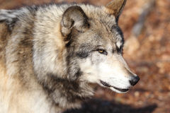 North American Gray Wolf Stock Photo