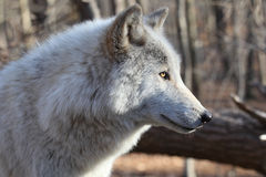 North American Gray Wolf Stock Images