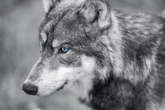 North American Gray Wolf WIth Blue Eyes. Black and white photograph of North American Gray Wolf, Canis Lupus, with blue eyes royalty free stock images