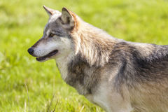 North American Gray Wolf, Canis Lupus Stock Photography
