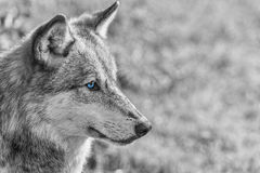 North-american Gray Wolf com os olhos azuis Imagens de Stock Royalty Free