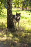 North American Gray Wolf in Forest Stock Photography