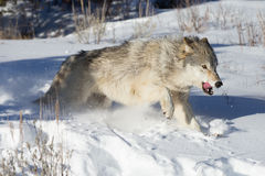 North-american Grey Wolf na neve Fotografia de Stock Royalty Free