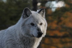 North American Grey Wolf Royalty Free Stock Images