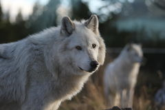 North American Grey Wolf. A Grey Wolf at a nature center by Yellowstone National park, Wyoming, USA Royalty Free Stock Photos