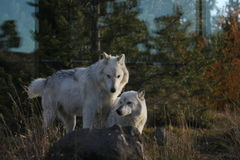 North American Grey Wolf Stock Photos