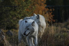 North American Grey Wolf Royalty Free Stock Photos