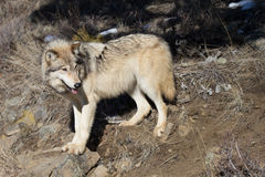 North American Grey Wolf on rocky hillside Stock Images