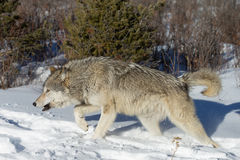 North American Grey Wolf in snow Stock Image
