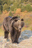 North American Grizzly Bear at sunrise in Western USA Stock Image
