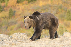 North American Grizzly Bear at sunrise in Western USA Royalty Free Stock Photography