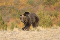 North American Grizzly Bear at sunrise in Western USA Royalty Free Stock Photos