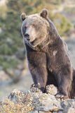North American Grizzly Bear at sunrise in Western USA Royalty Free Stock Image
