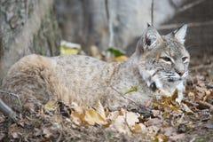North-american Lynx che inoltre è conosciuto come gatto selvatico Fotografia Stock Libera da Diritti
