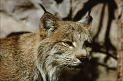 North American Lynx Perspective Royalty Free Stock Photo