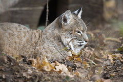 North American Lynx which is also known as a bobcat. Royalty Free Stock Photo