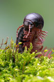 North American Millipede (narceus americanus) Stock Photography