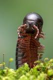 North American Millipede (narceus americanus) Stock Photos