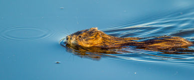 North American Muskrat. Adult North American Muskrat Swimming In Calm Blue Water Stock Photography