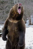 North American Ninja Bear. A Grizzly Bear enjoys the winter weather in Montana Royalty Free Stock Image