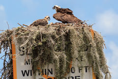 North American Osprey Nest with Juvenille Osprey. Stock Photography