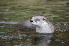 North american otter Stock Photography