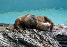 North American Otters 2. One otter decides that his partner makes a nice pillow Royalty Free Stock Photography