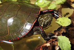 North American Painted Turtle. One image of a series of natural closeup portraits of this native North American Painted Turtle Royalty Free Stock Image