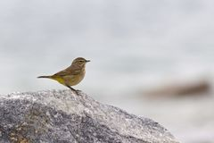 A North American palm warbler foraging on the coast at Key West Island Florida. A North American palm warbler Setophaga palmarum foraging on the coast at Key stock photography