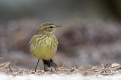 A North American palm warbler foraging on the coast at Key West Island Florida. A North American palm warbler Setophaga palmarum foraging on the coast at Key stock photo