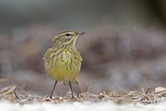 A North American palm warbler foraging on the coast at Key West Island Florida. A North American palm warbler Setophaga palmarum foraging on the coast at Key royalty free stock photo