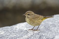 A North American palm warbler foraging on the coast at Key West Island Florida. A North American palm warbler Setophaga palmarum foraging on the coast at Key stock images